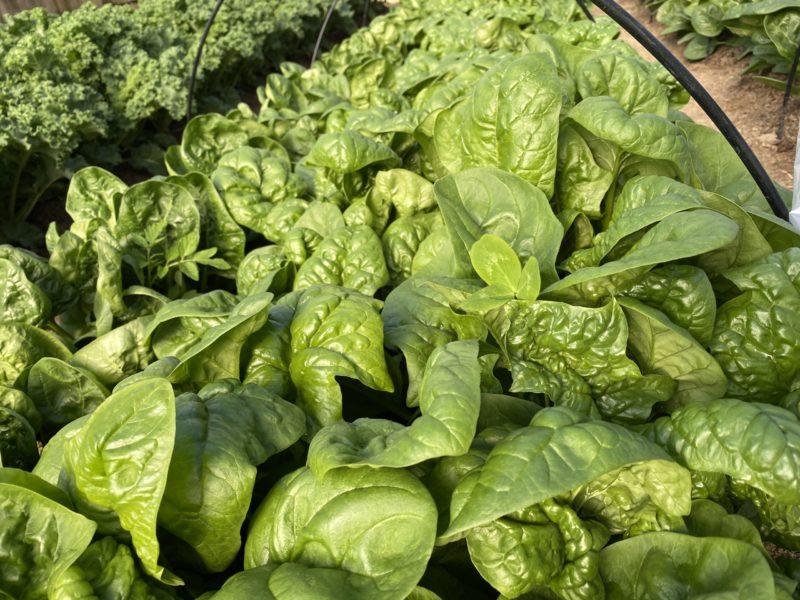Spinach many ways!