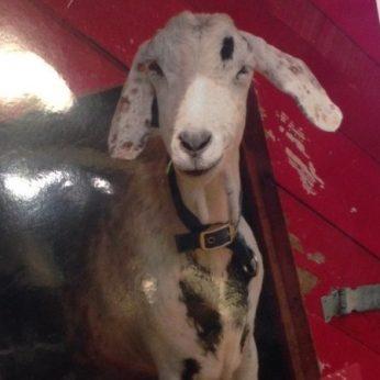 blog-coincidence-goat
