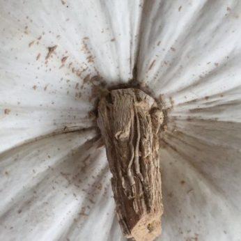 blog-pumpkins-white